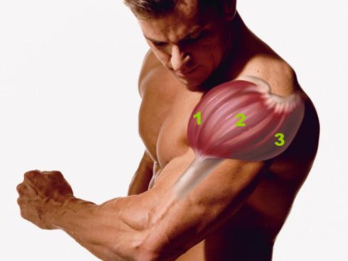 пучки мышц, плечи